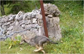 Gestion du loup sur le territoire vaudois